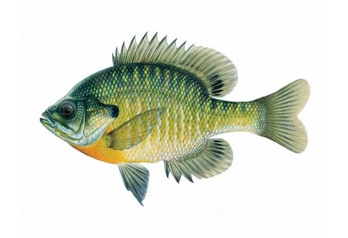 What is The Best Lure to Catch Bluegill?